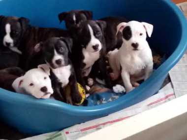 American Staffordshire Terrier puppy for sale