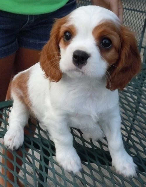 Cavalier King Charles Spaniel puppy for sale