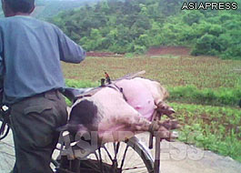 "A pig tied to the back of a bicycle. This man appeared to be taking the pig to the city to sell and earn some money. This kind of trading business is called ""Taegori"" in North Korea.(2010. South Pyongan Province. Taken by Kim Dong-cheol.)ASIAPRESS"