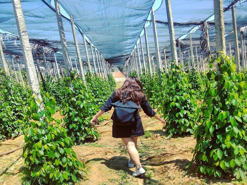 Phu Quoc pepper garden 2