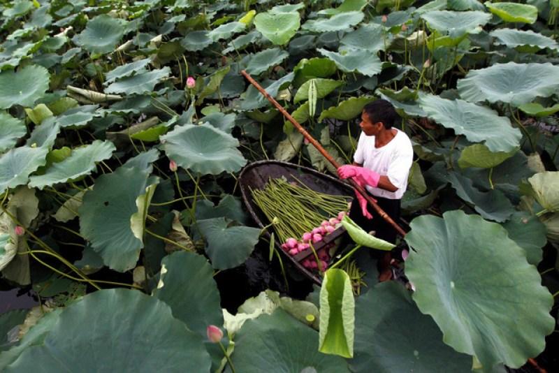 Thap Muoi's lotus field