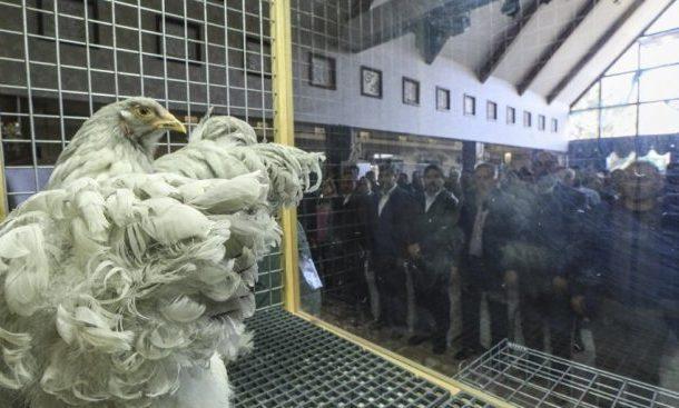 ديك ودجاجة بـ 2300 دولار في تركيا