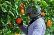 مسؤول تركي يناشد الحكومة السماح للسوريين العمل بسرعة في قطف الحمضيات