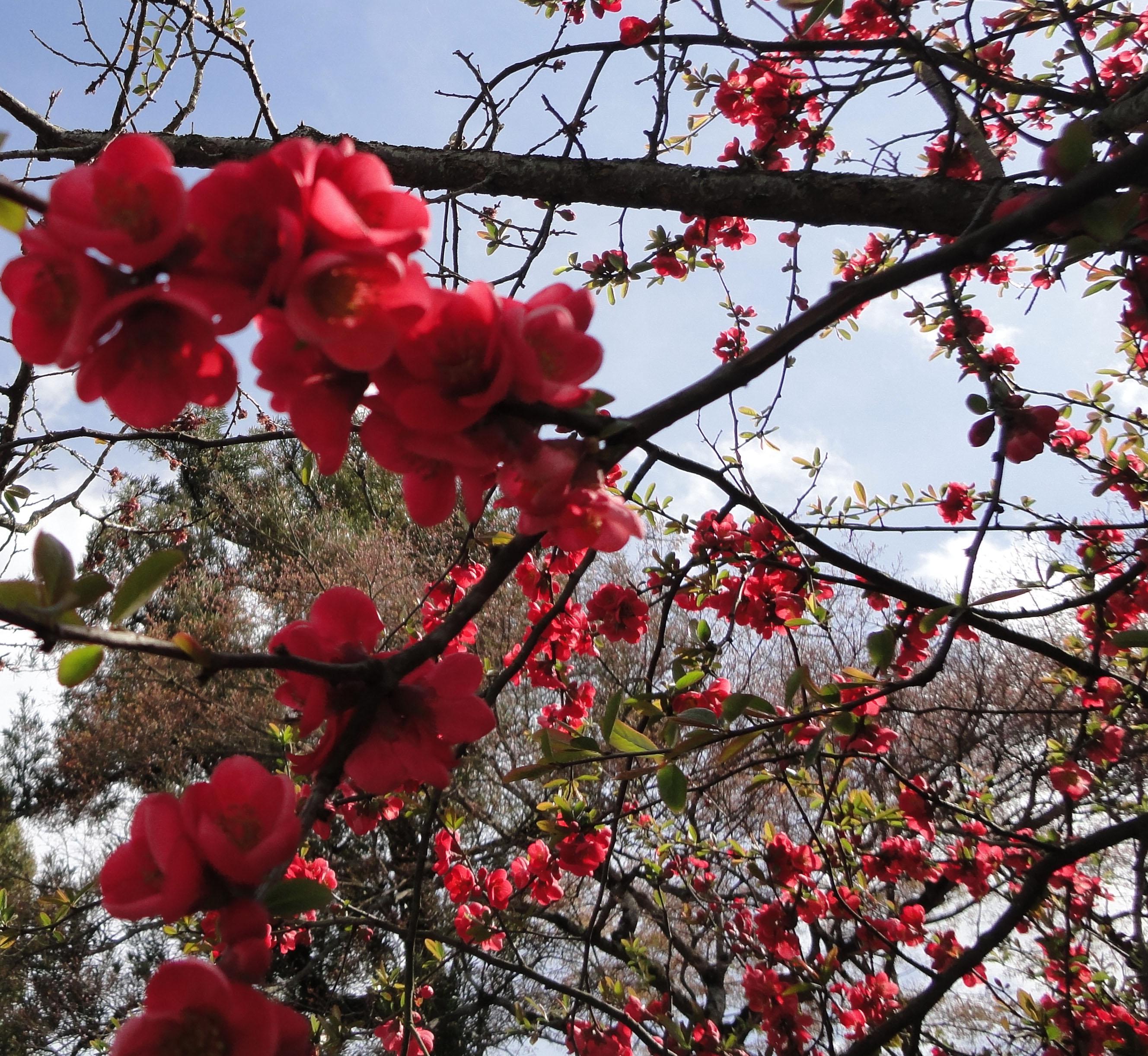 asisbiz red cherry blossoms