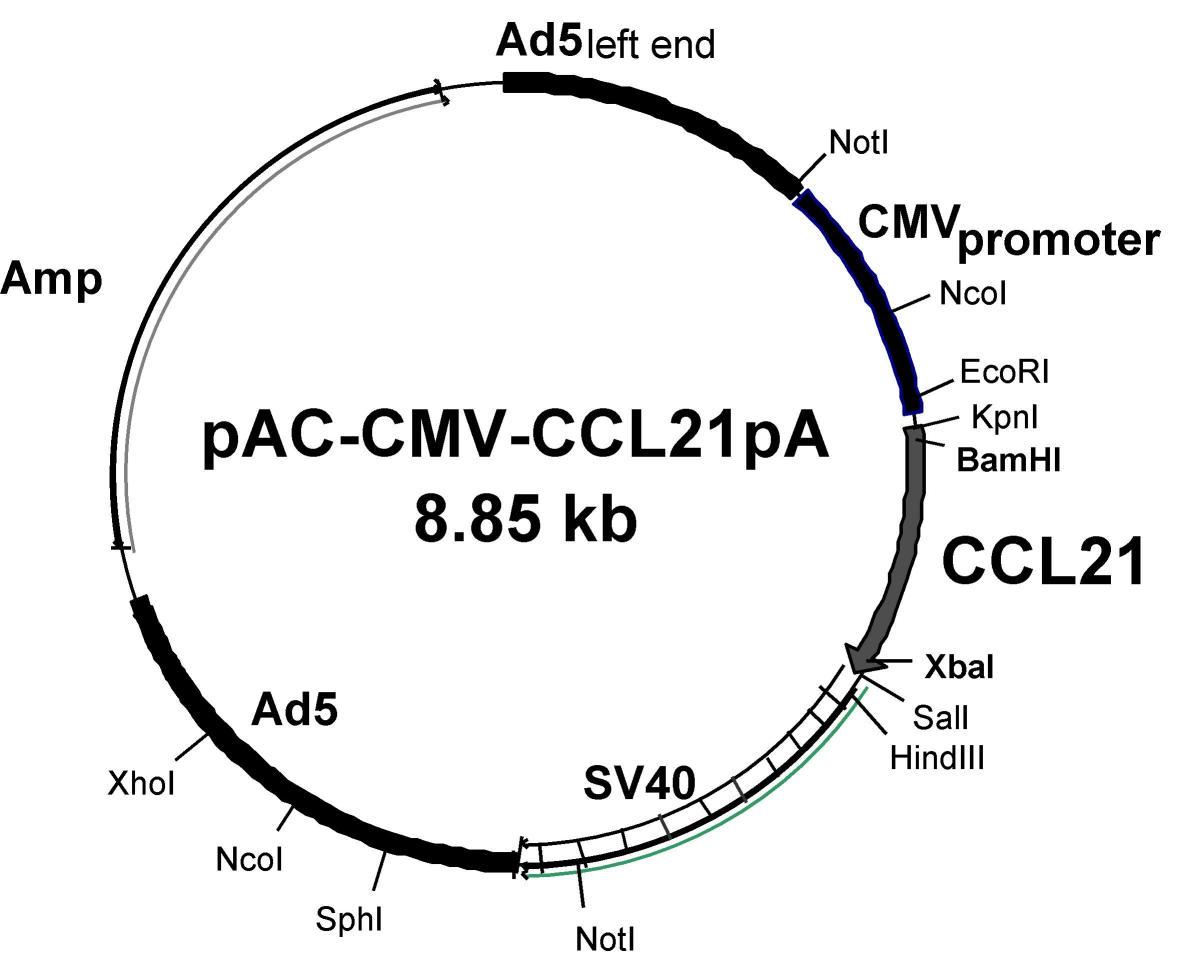 Animal Viruses As Cloning Vectors