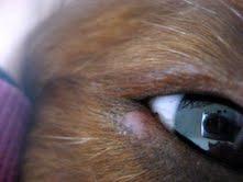 Stye In Dog S Eye