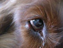 Stye In Dog S Eye Inflamed Meibomian Gland