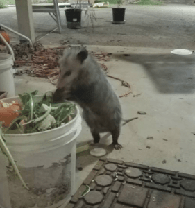 """Possum Fren"" frequently visits our back porch to much on our compost."