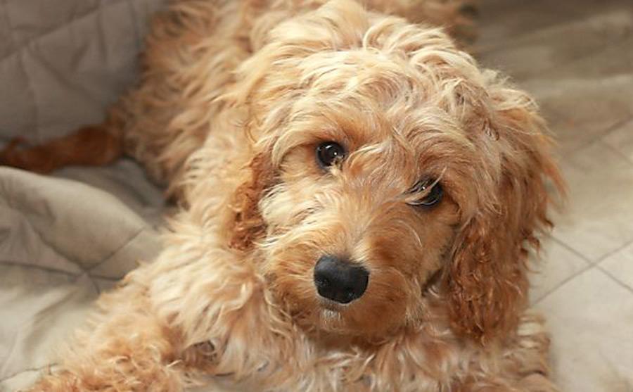 6 Months Cockapoo Dog