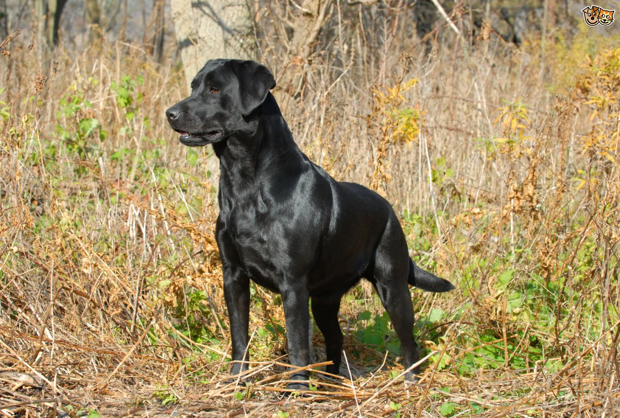 Cute Black Labs Wallpaper 25 Wonderful Chocolate Labrador Retriever Dog Pictures And