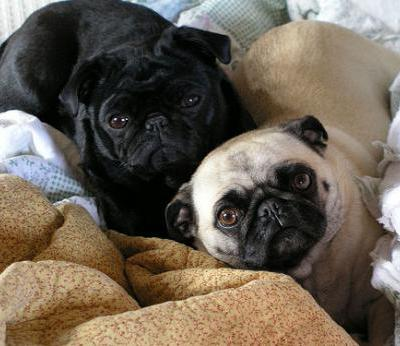 Cute Puppies Sleeping Wallpaper 47 Very Cute Pug Puppy Pictures And Photos