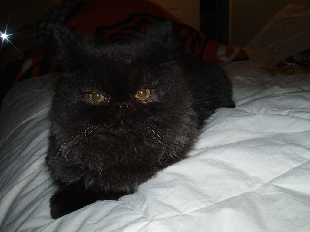 Cute Funny Kitten Wallpaper 30 Very Beautiful Black Persian Cat Images And Pictures