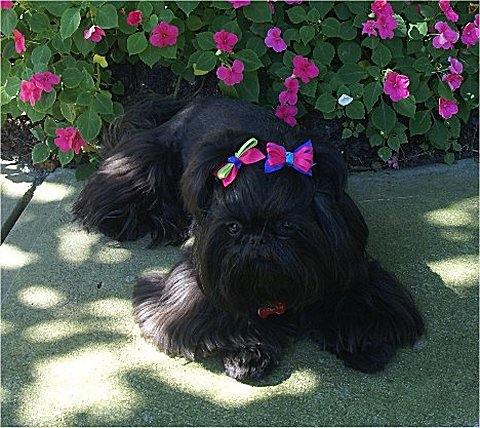 Cute Puppies Image Wallpaper 25 Very Best Black Shiih Tzu Pictures And Photos