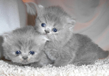 Cute Cat Face Wallpaper 41 Very Cute Persian Kitten Pictures And Images