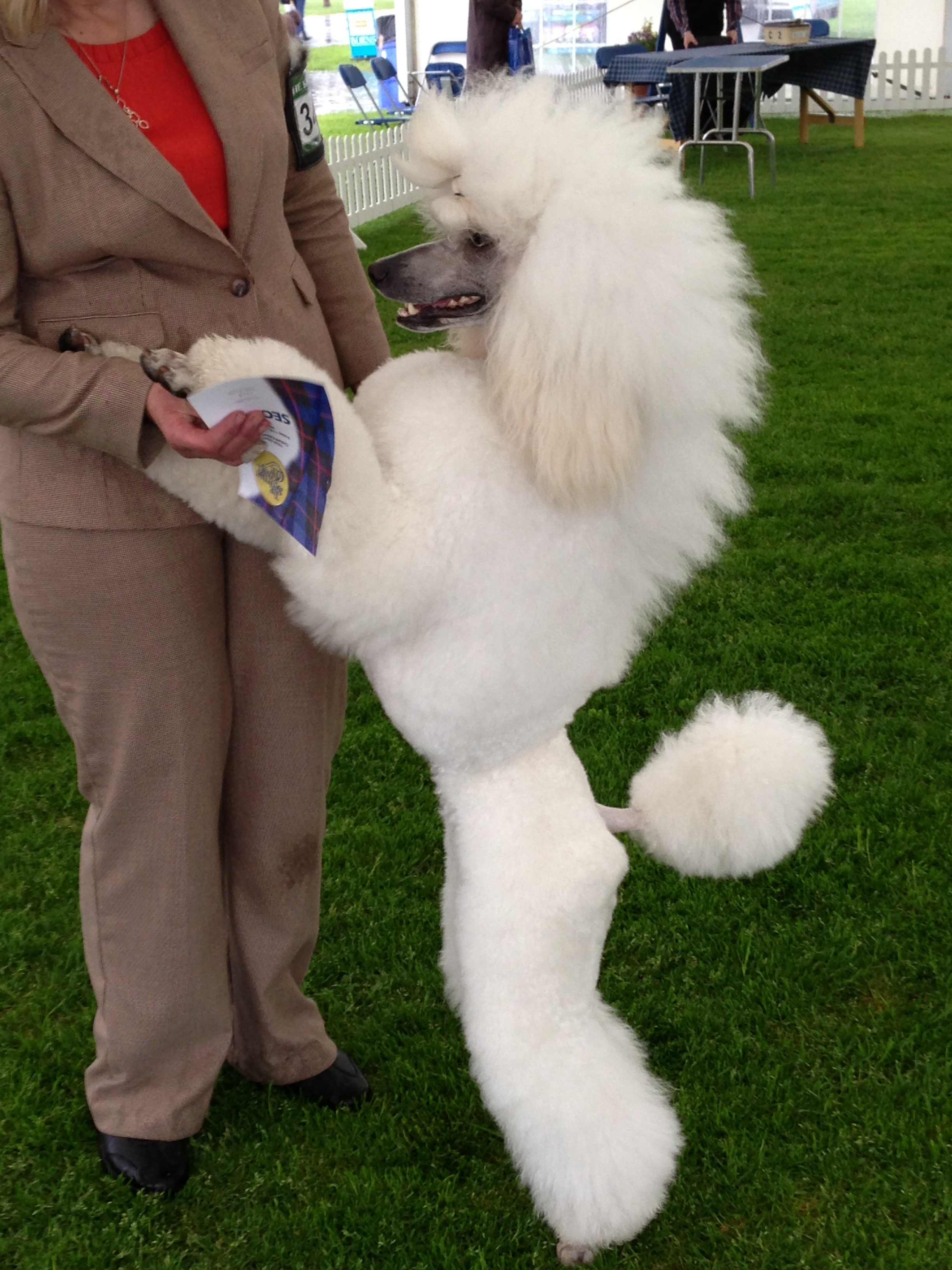 Very Cute Couple Wallpaper 35 Very Beautiful Poodle Dog Pictures