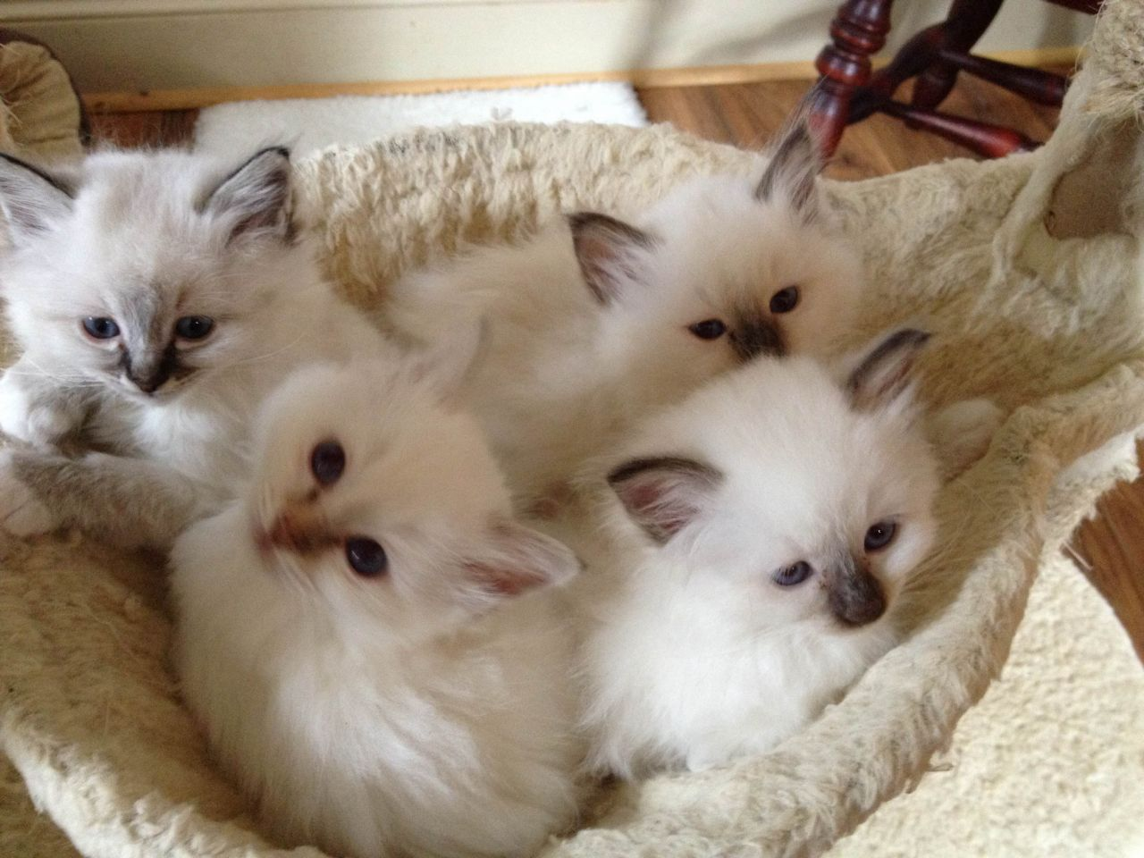 miniature sofa selber machen paletten 39 very cute birman kitten photos and pictures