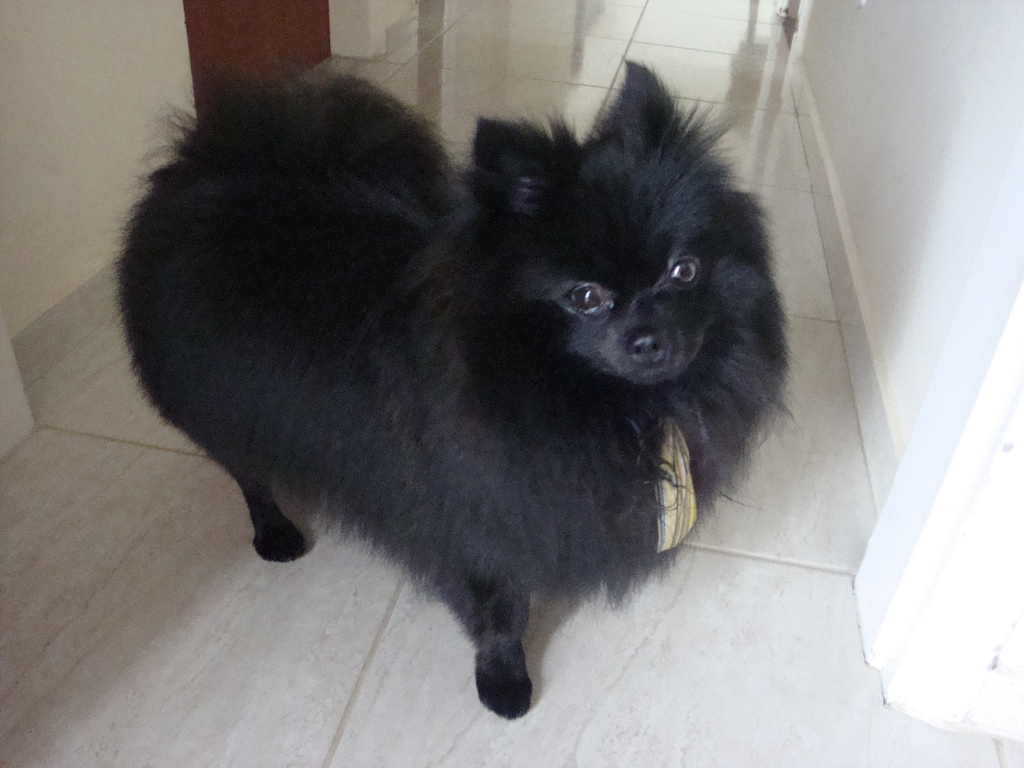 Puppy Pomeranian Haircuts Styles