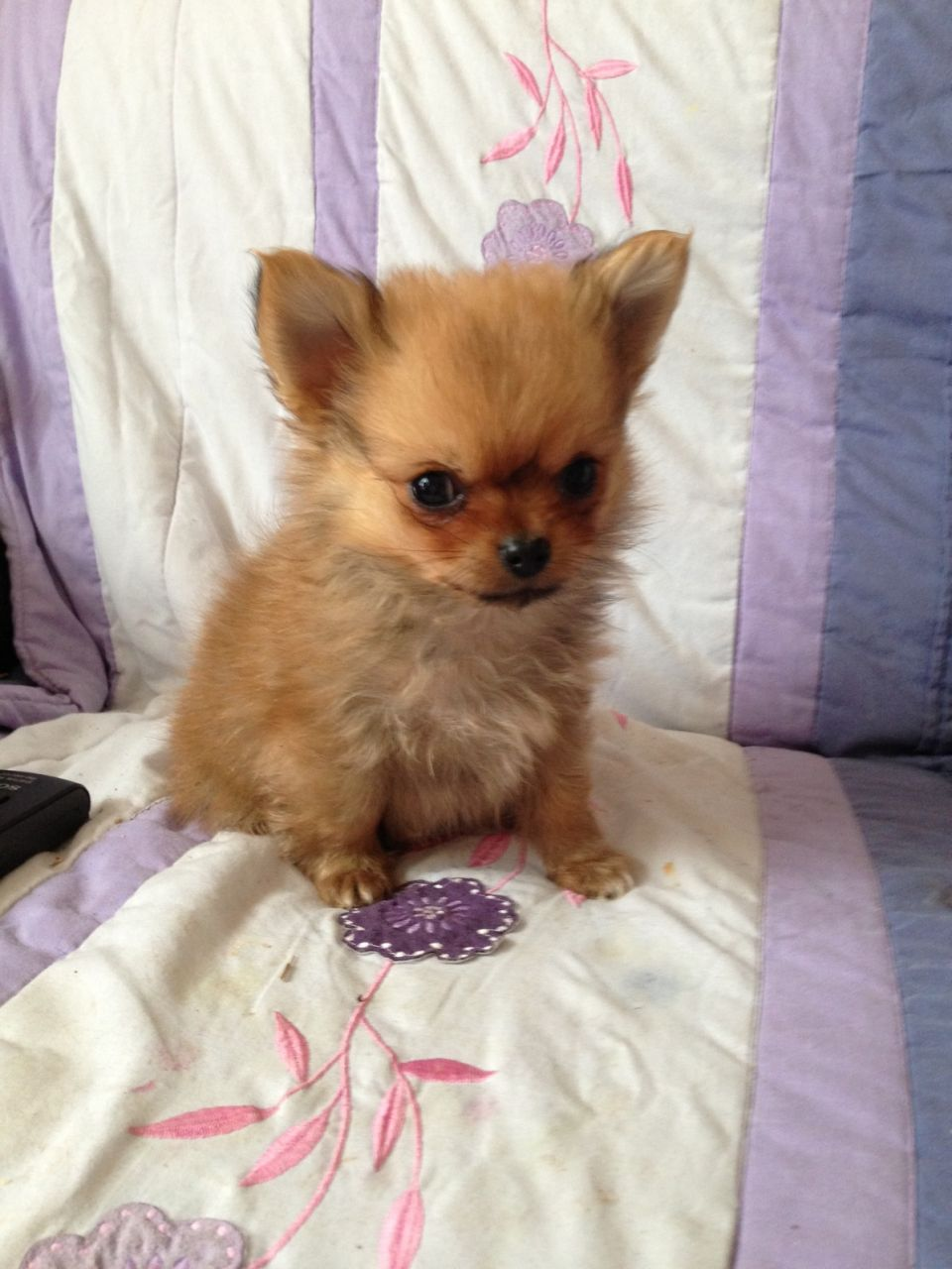 Cute Pomeranian Puppies Wallpaper 55 Vey Cute Papillon Puppy Photos And Images