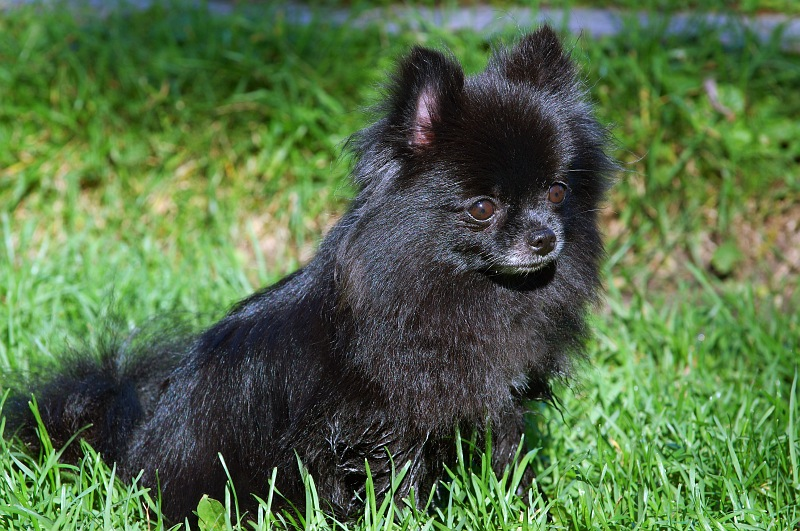 Cute Pomeranian Puppies Wallpaper 35 Most Awesome Black Pomeranian Pictures And Images