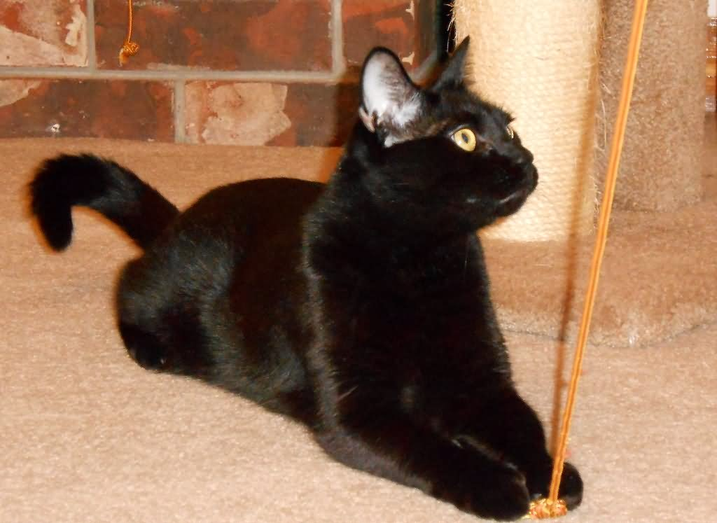 love your home corner sofa reading world 20 most beautiful black munchkin cat pictures