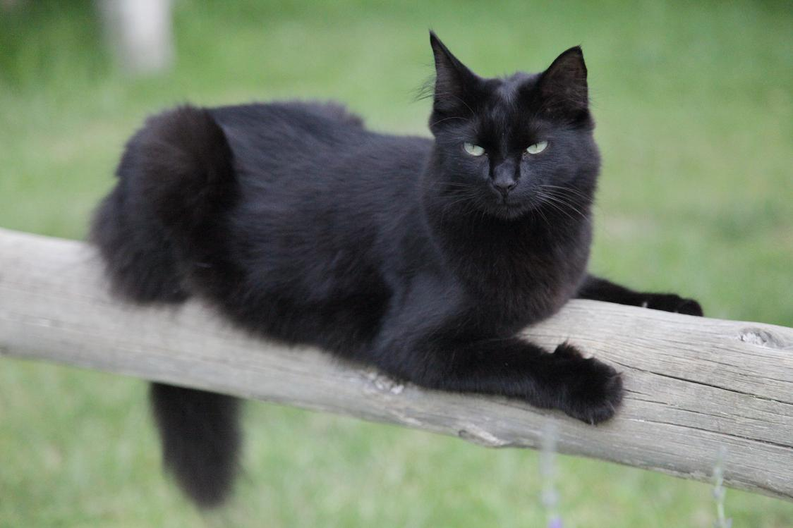 46 Black Burmese Cat Pictures And Photos