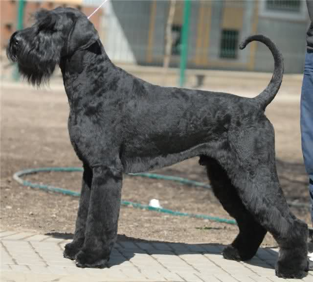 30 Most Beautiful Black Giant Schnauzer Dog Pictures And