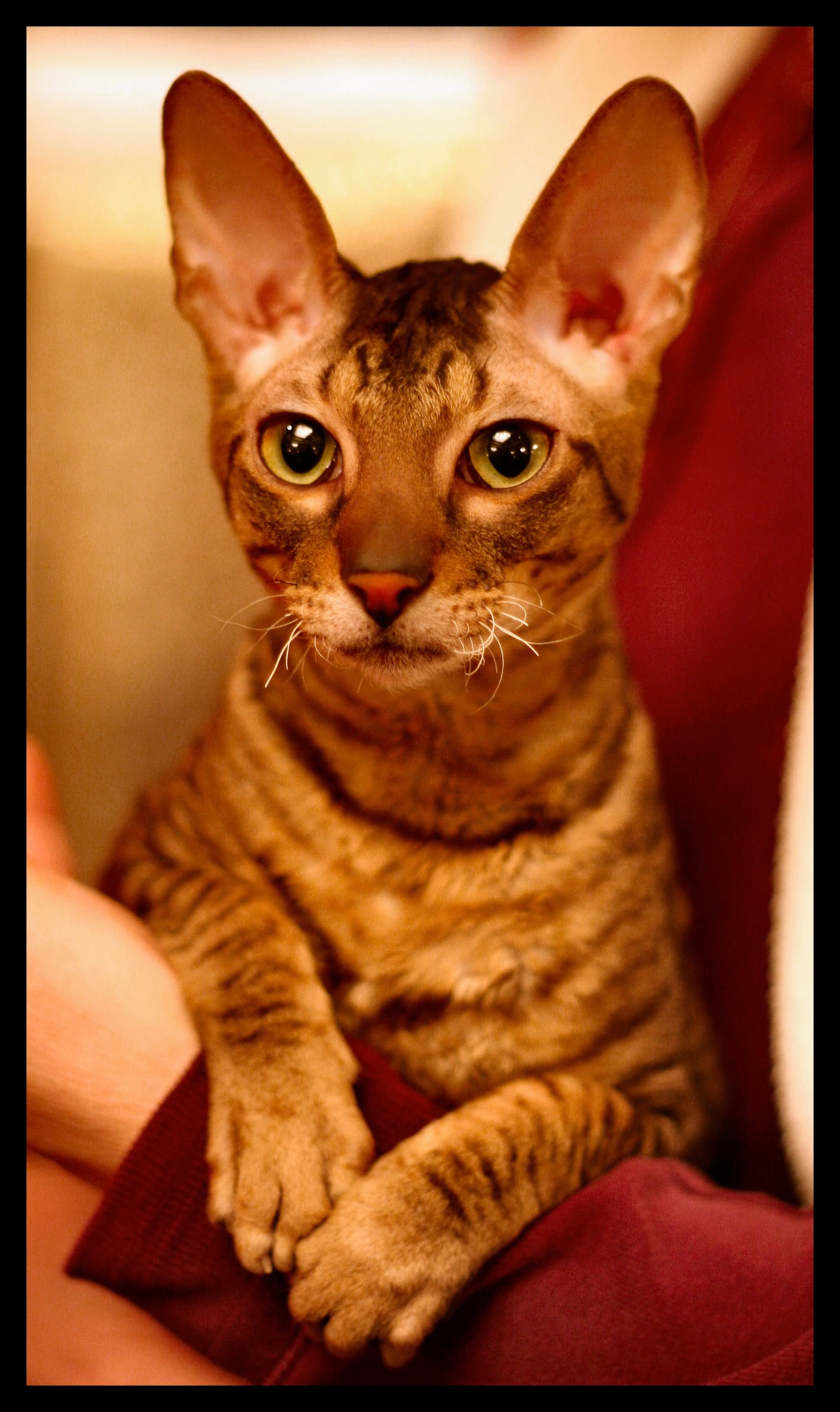 30 Most Awesome Cornish Rex Cat Pictures And Images