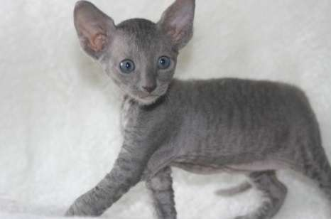 grey and white sofa bed beds double size 50 very cute cornish rex kitten pictures photos