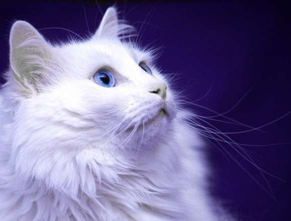 Cute Orange Kittens Wallpaper 40 Most Adorable Turkish Angora Cat Pictures And Images