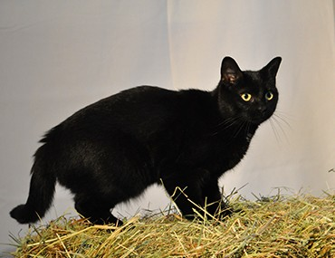 Cute Fat Cat Wallpaper 34 Most Awesome Bombay Cat Pictures And Images