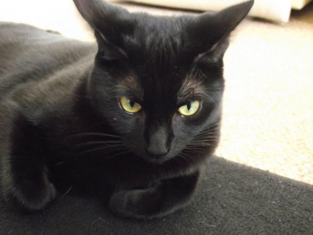 Angry Black Bombay Cat