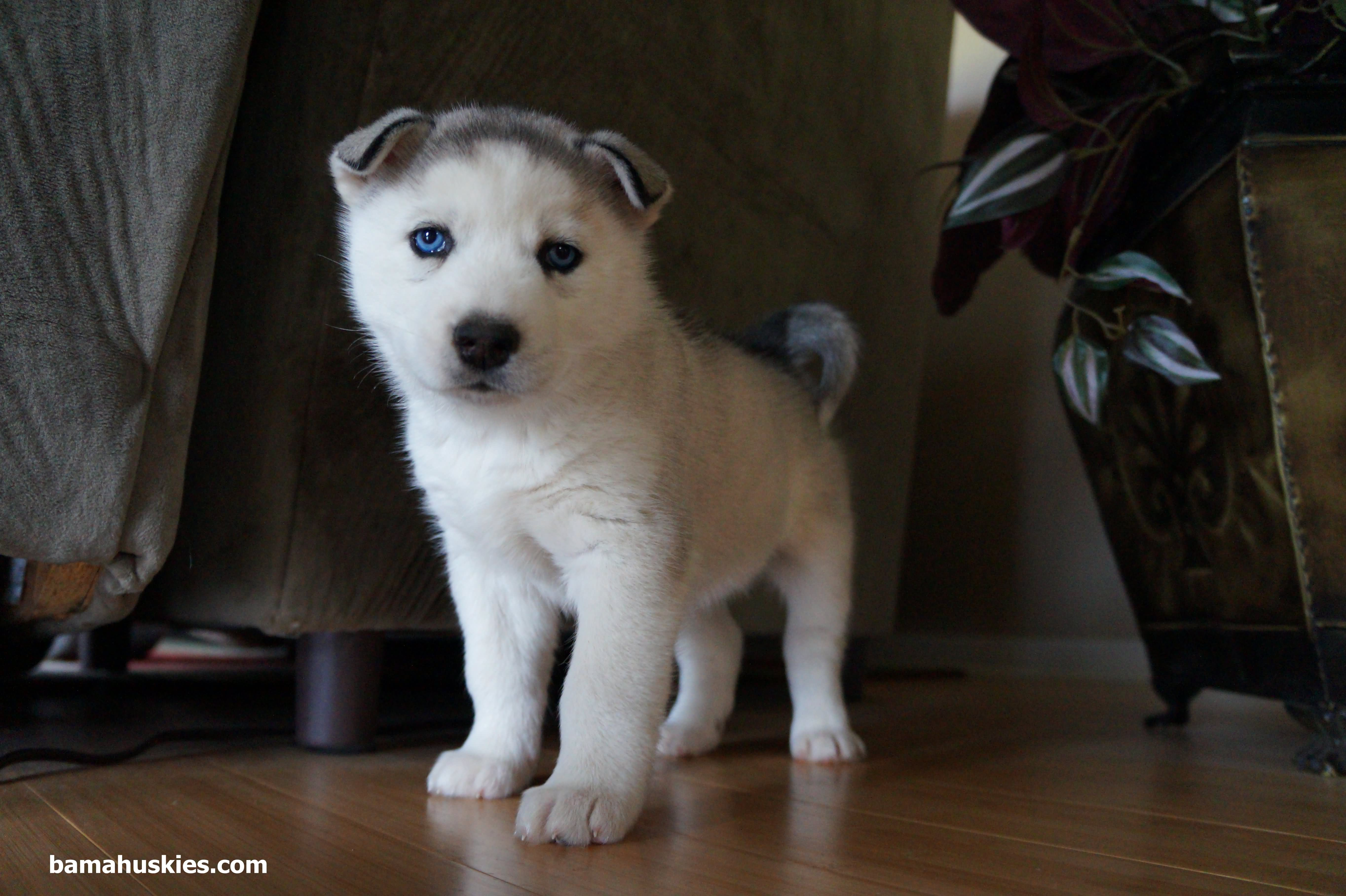 Cute Husky Puppies With Blue Eyes Wallpaper 65 Very Cute Siberian Husky Puppy Pictures And Images