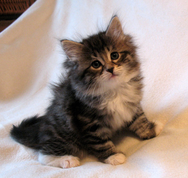 25 Very Cute Siberian Kitten Pictures And Images