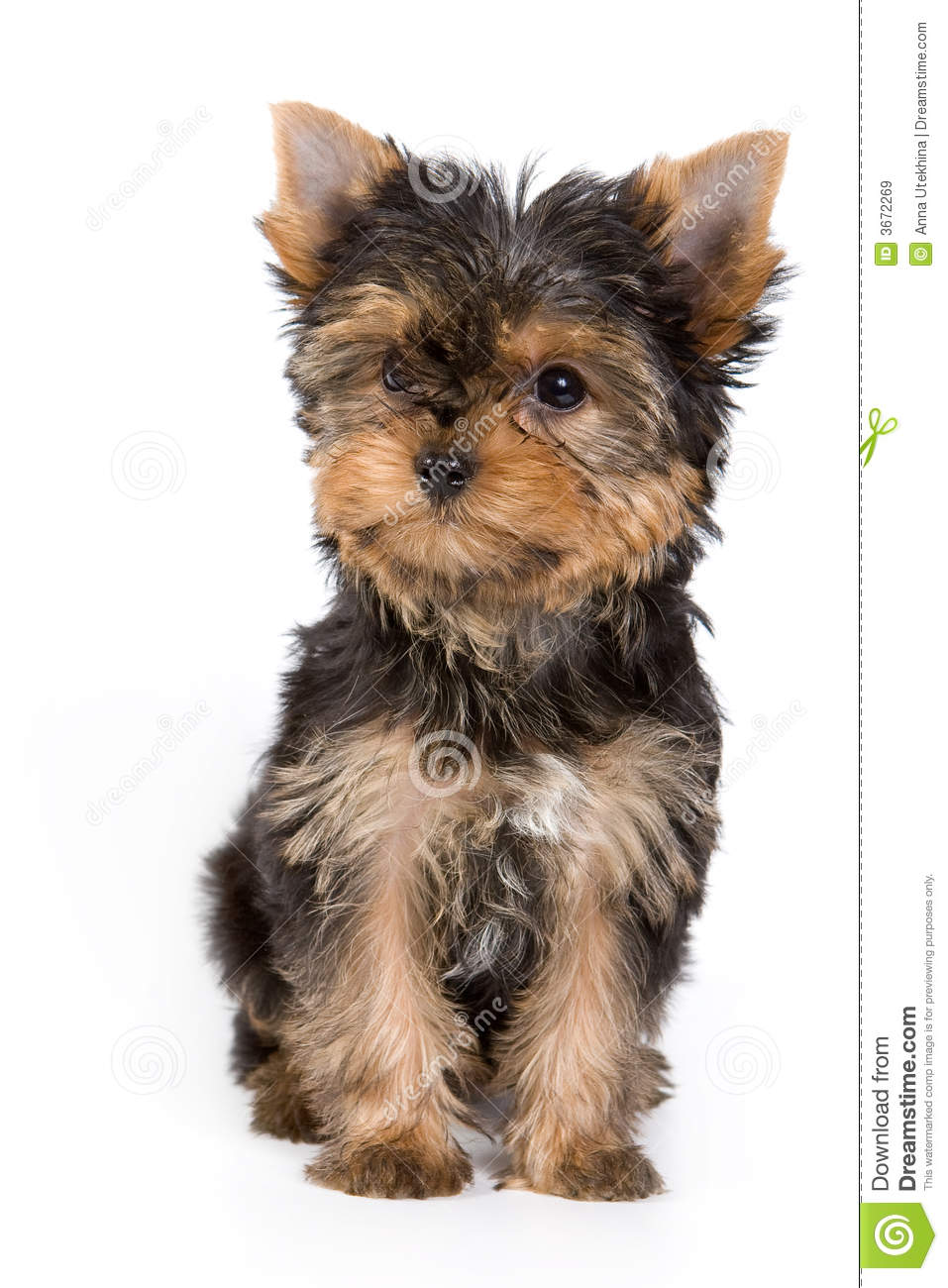 Cute Yorkshire Terrier Puppies Wallpaper 50 Very Cute Yorkshire Terrier Puppy Pictures And Photos