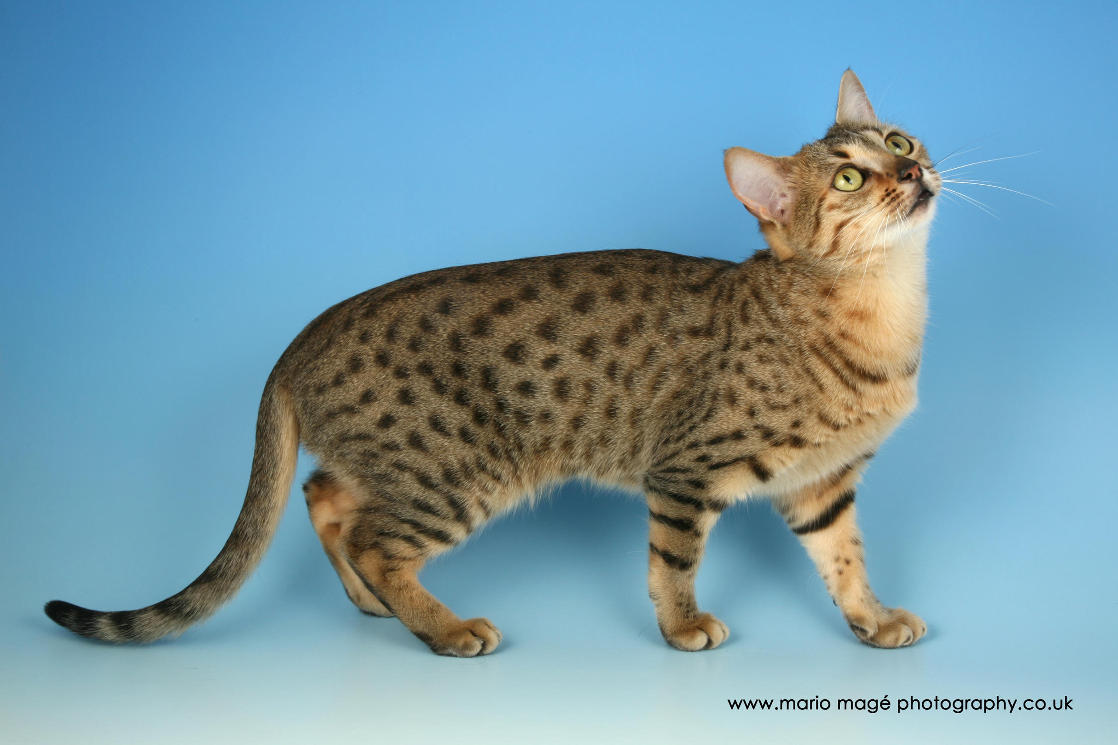 Cute Fat Cat Wallpaper 70 Most Beautiful Egyptian Mau Pictures And Photos