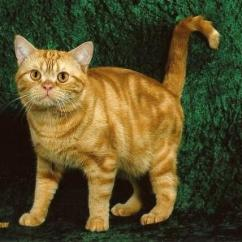 White And Black Sofa Bed Stylus Sofas Kelowna 25 Most Adorable Orange American Shorthair Cat Pictures ...