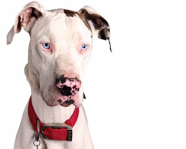 70 Most Adorable Great Dane Dog Photos And Pictures