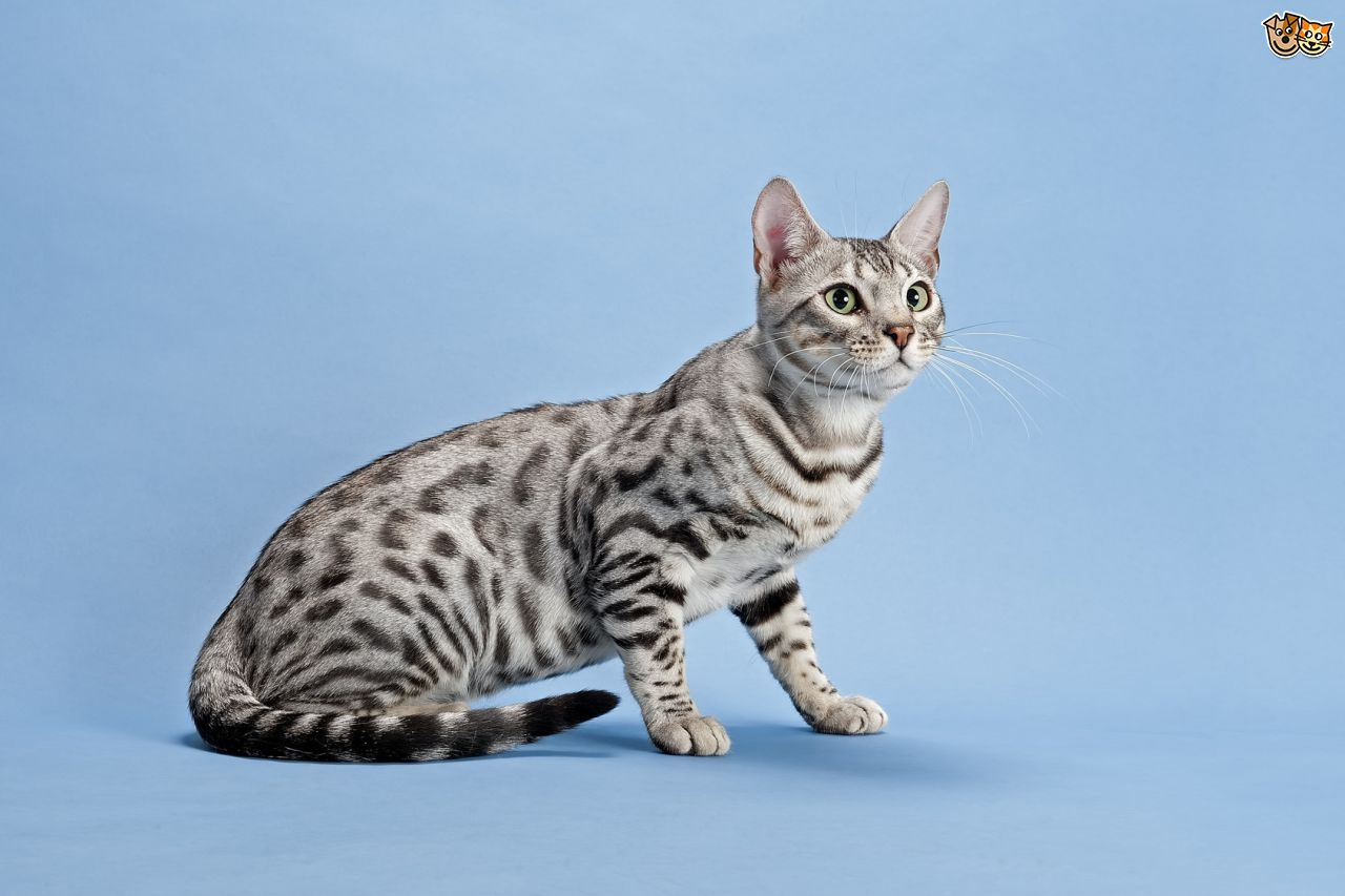 Girl Sitting In Garden Wallpaper 30 Very Beautiful Bengal Cat Photos And Pictures
