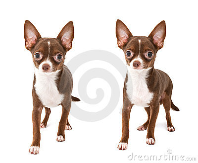 50 Most Wonderful Brown Chihuahua Dog Pictures And Images