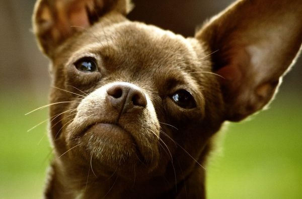 Brown Chihuahua Dog Face