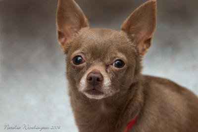 55 Very Beautiful Chihuahua Dog Photos And Pictures