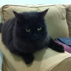 Grey And White Corner Sofa Big Gunstig Online Kaufen 30 Most Adorable Black Ragamuffin Cat Pictures Images