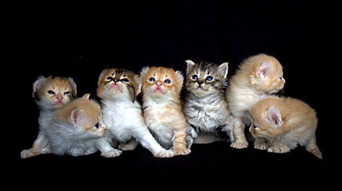 Cute Orange Kittens Wallpaper 70 Most Adorable American Curl Cat Pictures And Photos