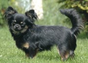 adorable black chihuahua