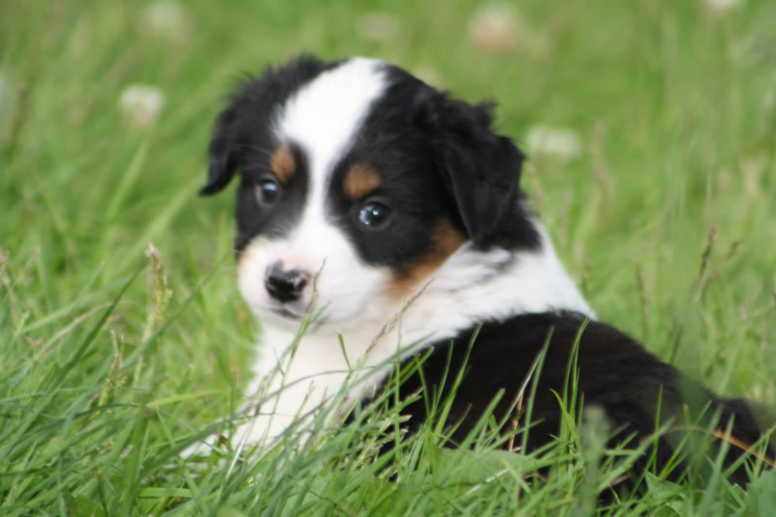 mini dog sofa murphy bed 55 adorable australian shepherd images and pictures