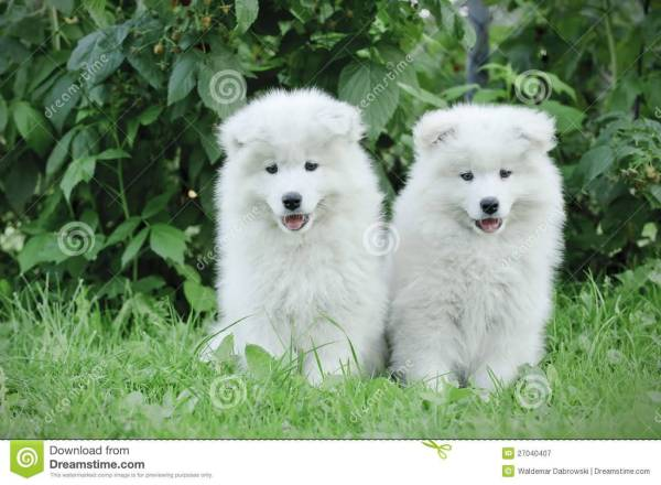 Samoyed Puppy With Flowers