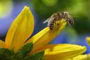 """Critical Analysis of Sylvia Plath's """"The Bee Meeting"""""""