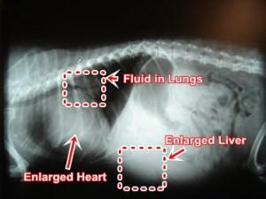 valvular-disease-enlarged-heart-dog
