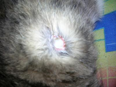 Cat skin care question: Seeing a white hole on cat's side ...