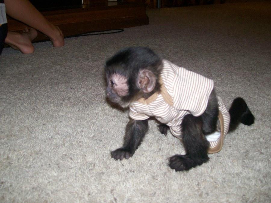 intelligent baby capuchin monkey